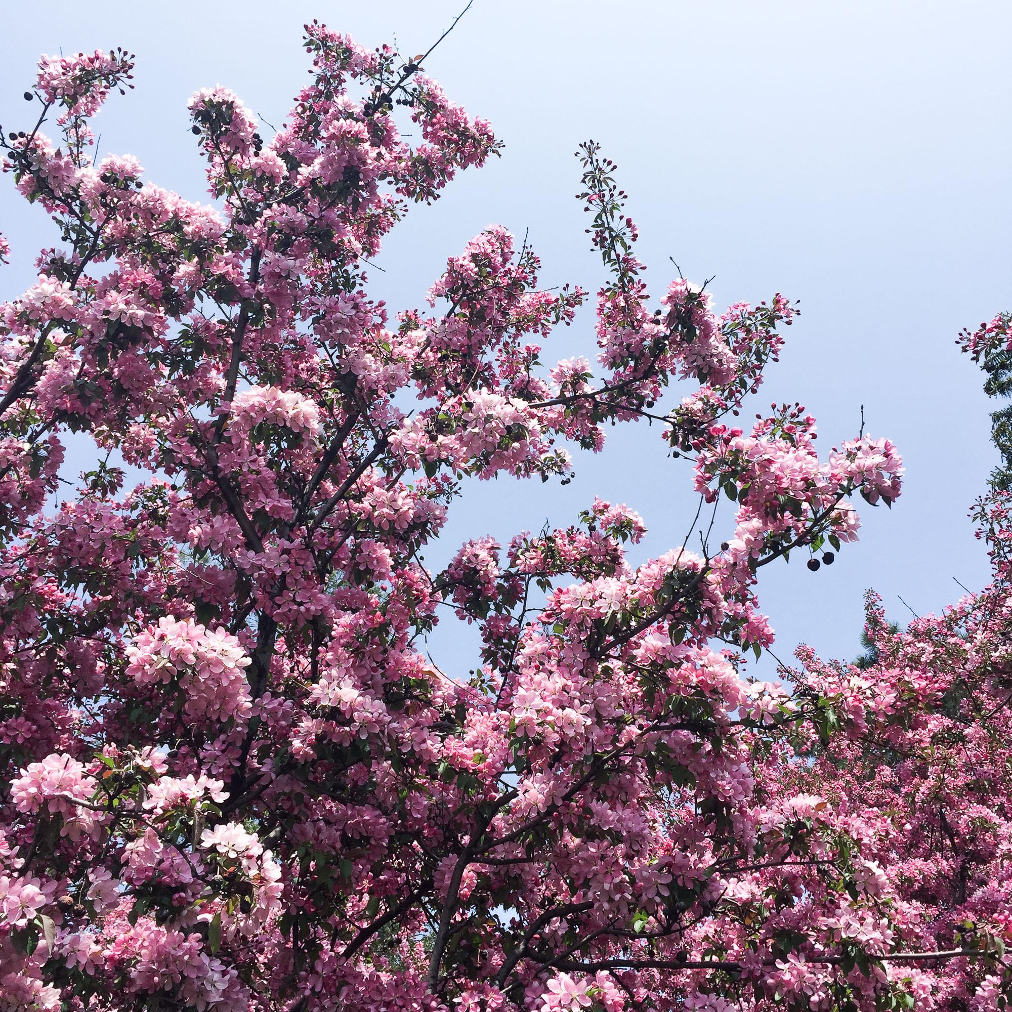 cherry blossom canada 2